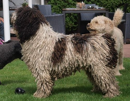 kennel for spanish waterdogs /// perro de agua español
